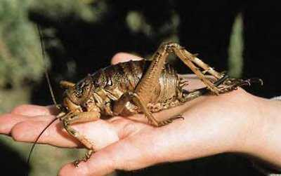 Worlds-Heaviest-Bug-Weta1
