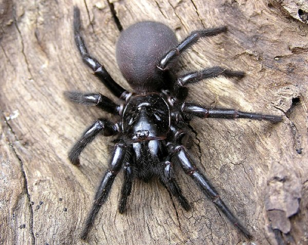 Sydney Funnel-Web
