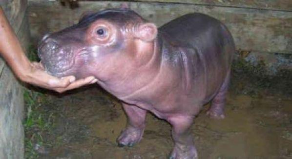Baby-Hippo-Matilde