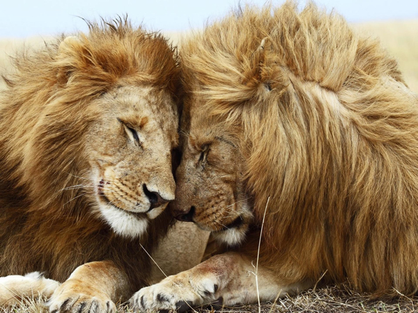 African-Lion-Lovers-1440X1920