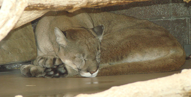 mountain_lion_sleeping_by_zortiger-d3j6t61