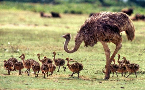 Ostrich Fam