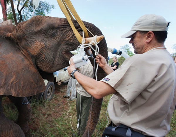 Super Heroin being used on an elephant