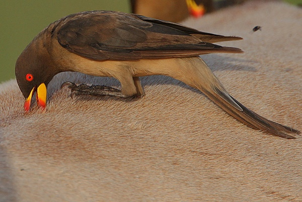 Flickr - Rainbirder - Yellow-Billed Oxpecker (Buphagus Africanus)