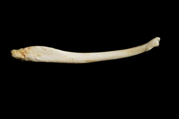 Sea-Otter-Baculum