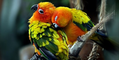 parrots_couple_in_love-wide