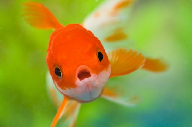 Fish-Cyprinidae-Goldfish