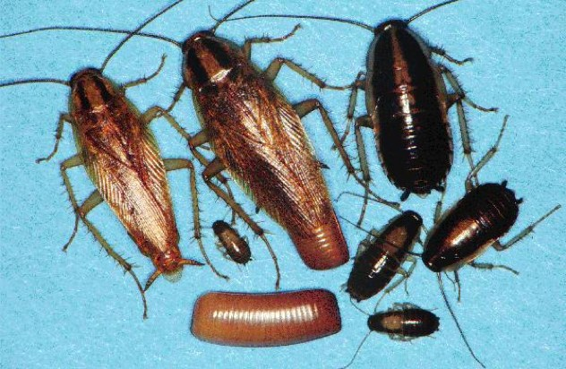 German Roach Stages