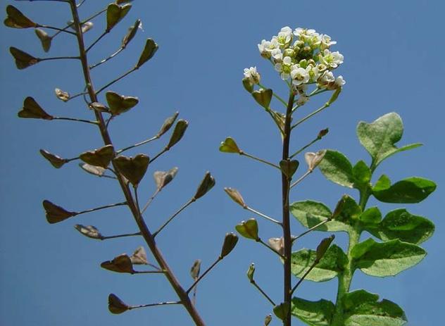 Capsella-Bursa-Pastoris
