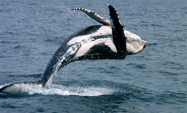 Whales-in-Hervey-Bay-2