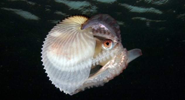 Female Argonaut