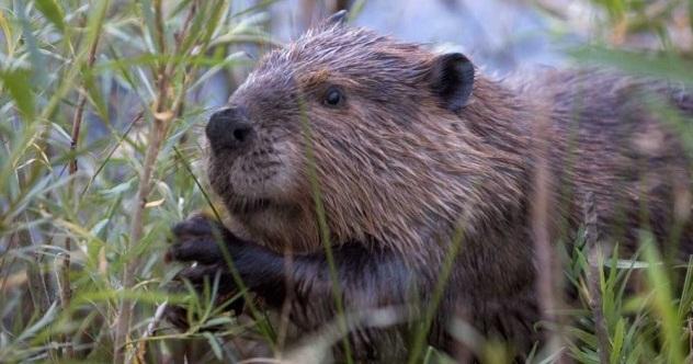 Beaver-e1375253058249