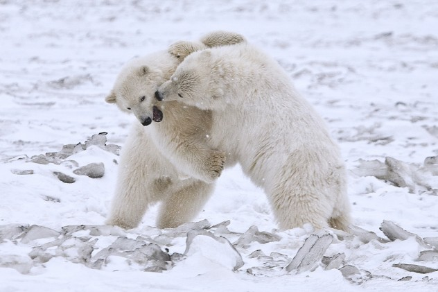 Polar Bears (Cubs), Arctic National Wildlife Refuge, Alaska