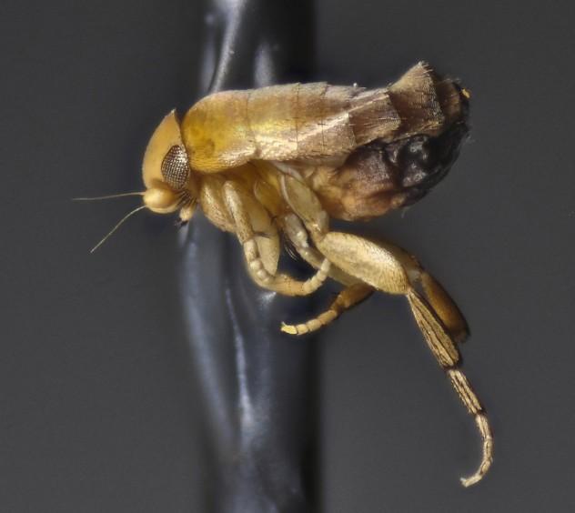 crabfly