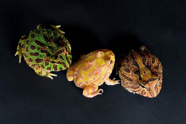 Hornedfrogs001