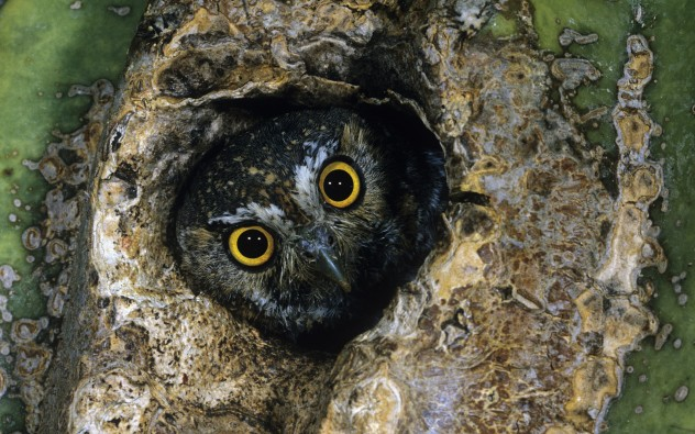 Elf Owl (Micrathene whitneyi) peering from a hole in a Saguaro cactus
