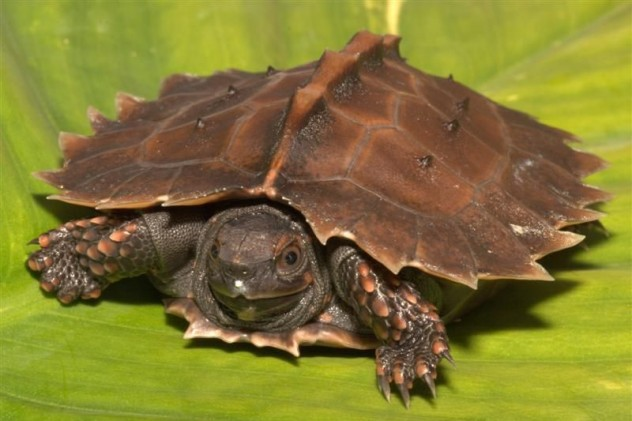 10 bizarre turtle species listverse