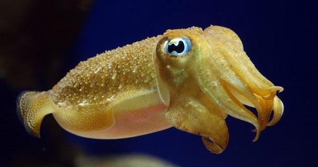 Cuttlefish-e1380567883114