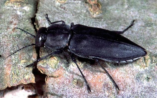 Melanophila Beetles