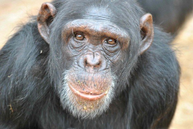 C For Chimpanzee 10 Animals Launched In...