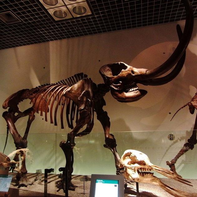 0_American_mastodon_Skeleton