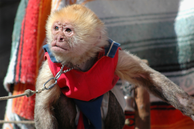 organ grinder's monkey