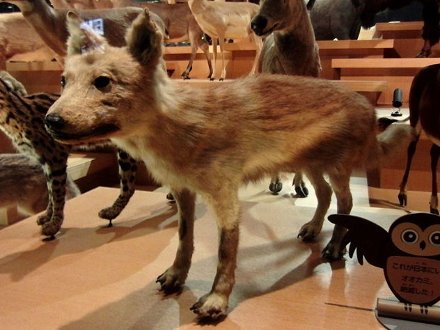 5_ Japanese_Wolf