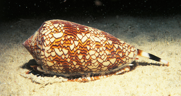 cone-snail