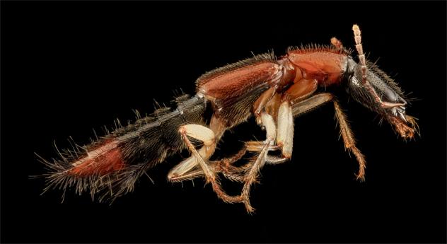 7- beetle