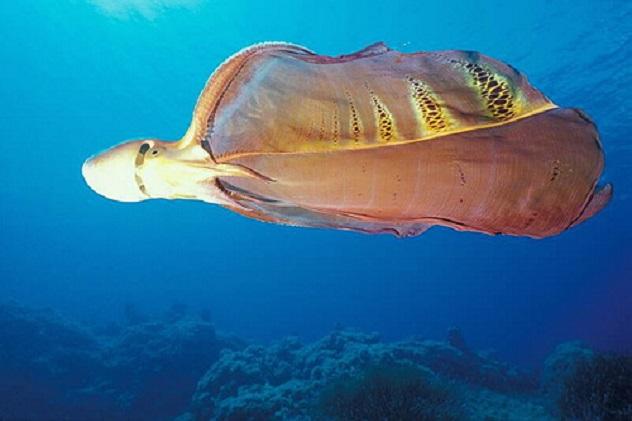 blanket_octopus