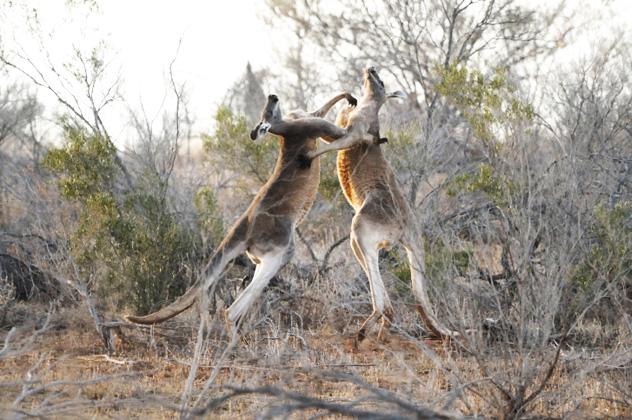 10- kangaroo