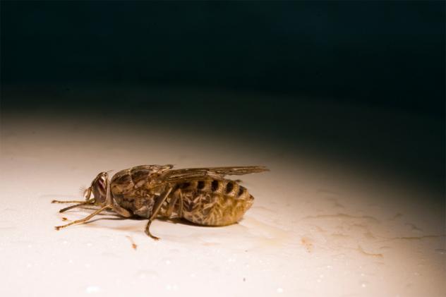 6- tsetse fly