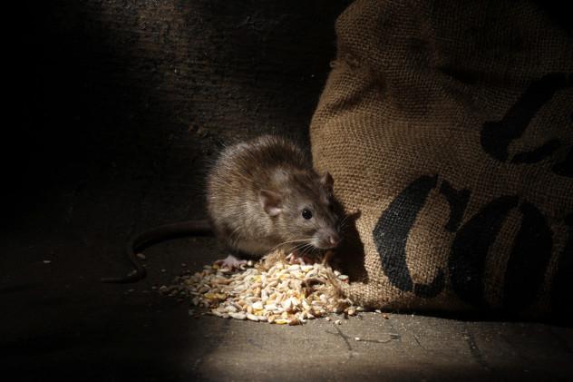 8 Rat
