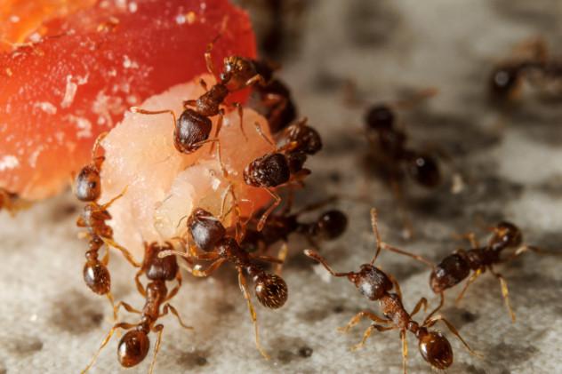 2 meat ants