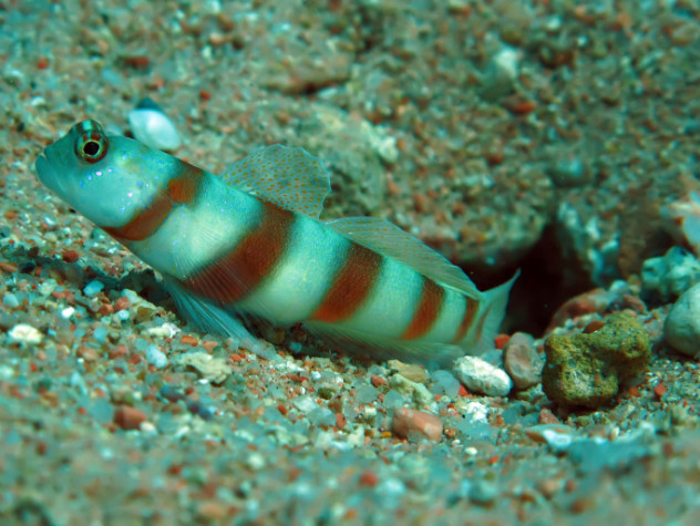 5 goby
