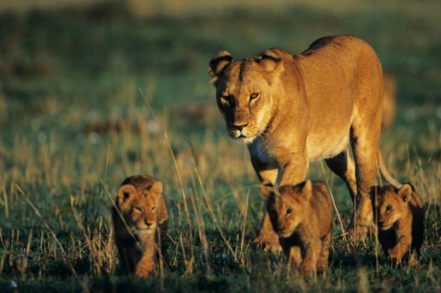 elsa_the_lion