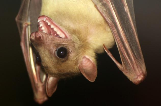 bat mouth