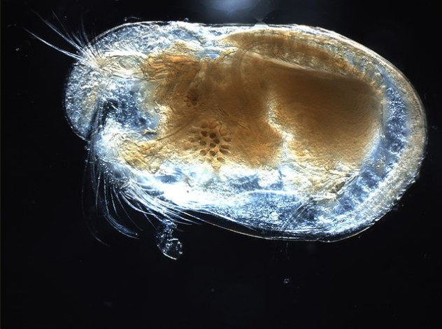 640px-Ostracod