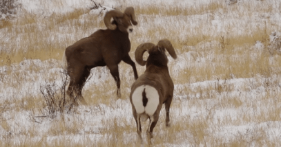 Bighorn Sheep Battle