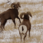 Bighorn Sheep Battle
