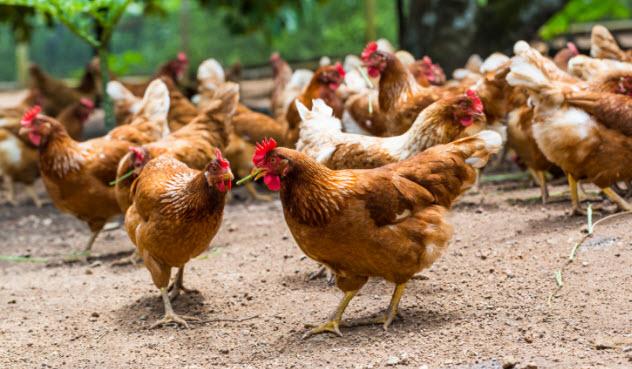5-happy-chickens-538323101
