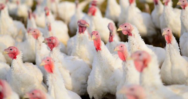 4-turkey-farm-165434404