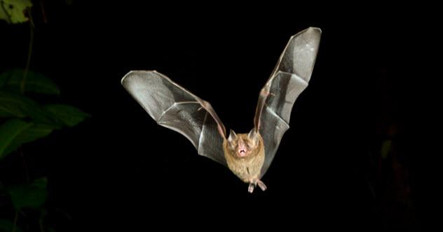 5-caribbean-bat-531901633