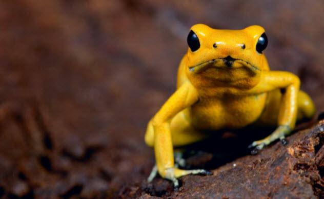 8-golden-poison-frog-137135098