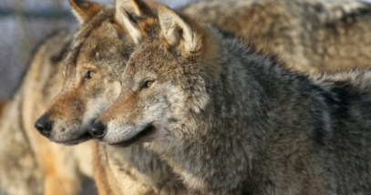 feature-1-pack-of-european-wolves-177020414