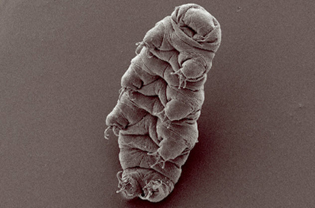 2-tardigrade