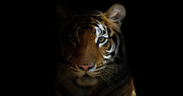 5a-feature-tiger-head_000047864138_Small