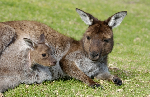 animals kangaroo with joey in pouch female