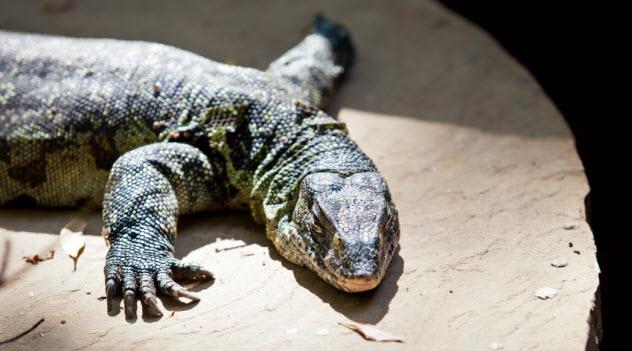 8-nile-monitor-lizard_000020138385_Small