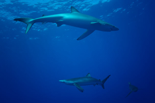 9-blue-sharks_000072124073_Small